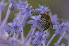 Bee on scilla (Toni P. Juan) Tags: bee apis mellifera honey insects scilla autum october nature hmm macro macrofotografa flowers blue explore
