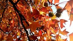 Autumn... (carlo612001) Tags: autunno autumn coloridautunno colors colori