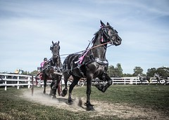 From the horse show (toddrappitt) Tags: summer fair exhibition greatnorthernexhibition horsesintandem horseandcarriage horses horse vegetarian6 september ontario collingwood t4i rebel canon