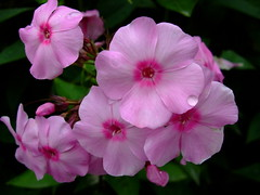 Phlox paniculata ''pink gown'' (yewchan) Tags: flower flowers garden gardening blooms blossoms nature beauty beautiful colours colors flora vibrant lovely closeup phlox phloxpaniculata