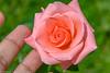 Rose (AlexandreSiqueira) Tags: flor flower flora rosa rose macro grama grass vegetação vegetation verde green delidada delicate luz light suave smooth suavidade smoothness textura texture manguinhos riodejaneiro rio rj brasil brazil