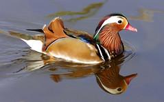 Mandari nedant (Albert Ferr (Artbel )) Tags: anec duck pato canard mandar mandarn mandarinaduck anecmandar patomandarn pentaxk3 pentaxda55300 elcavet