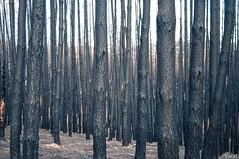 Scarscape, 2015 (Jayar(t)) Tags: landscape fire dystopia forest bushfire