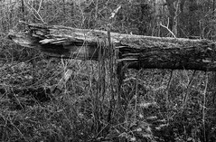 Broken Tree (Dukes Hag Wood) (Jonathan Carr) Tags: abstract abstraction landscape rural northeastblackwhitebwtoyo 45a4x55x4large format monochrome trees decay broken
