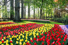 cn bit v H Lan (phannamdc) Tags: tulip tulips hyacinth hyacinths nature flower flowers amsterdam holland europe netherlands keukenhof seasonal easter background colorful rows grow grass row may macro agriculture symbol typical field garden fields stripes beautiful romantic view summer spring bloom blooming flora stripe dutch color colors vivid bright multicolored mix sunny sunlight growing carpet czechrepublic