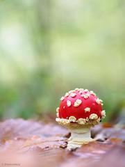 Fly Agaric (Amanita muscaria) (www.naturfokussiert.de) Tags: fliegenpilz agaric fungi mushroom autumn fall herbst