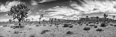 0397 Joshua Tree Panorama (Hrvoje Simich - gaZZda) Tags: desert tree sky clouds grass bush sand joshuatree nationalpark california usa nikon nikond750 nikkor283003556 gazzda hrvojesimich