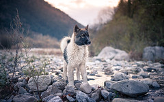 Greenland dog (camel.arnaud) Tags: chien chiot sled sleddog puppy sunset