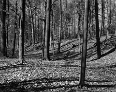 Forest for the Trees (.:Axle:.) Tags: oakville ontario canada trail park hike woods forest lunchbreak fall greenspace oakvillepark ravine creek stream graflex pacemakercrowngraphic crowngraphic presscamera largeformat viewcamera 4x5 sheets fujifujinonw156125 ilford ilfordhp5 hp5 asa200 pyro pyrocathd 11100 photographersformulary pentaxspotmeterv adobephotoshopcc epsonv700 film filmphotography bw blackwhite believeinfilm filmisnotdead filmisalive