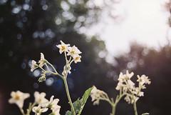 (Doug J.) Tags: film 35mm bokeh analog dof blur flowers potato plant canon eos rebelg 500n 2880mm trees nature fuji fujifilm superia xtra 400 light flare