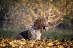 Telmo, no podra llamarse de otra manera (Carlos Torres Checa) Tags: perros dogs basset hound bassethound athletic bilbao mascotas cachorro