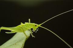 IMG_6936-Edit (LowellTyler) Tags: 7d bioblitz boyscouts katydid mpe65 macro pupukea summercamp