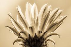 Cactus flower (explored) (Domingo Mery) Tags: