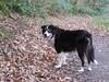 6327 Max on the footpath in Coed Aberlleiniog (Andy - Busyyyyyyyyy) Tags: 20161105 aaa aberlleiniog bbb black ccc colliedog ddd dog fff footpath forest max mmm