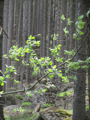 Moose, Granitfelsblock im Harz , NGID473675237