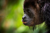 Up Close & Personal with young Howler Monkey, Mexico (cindy-lou ramsay photographer) Tags: howler monkeys cindylou ramsay photography central american wildlife scottish photographer animal endangered