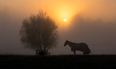 Wakey-wakey (zebedee1971) Tags: landscape horse waikato sun light sunlight morning sunrise filed pasture animal hamilton fog foggy cold grass fence tree sky orange serene calm style