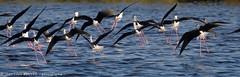 _MG_7173 LR flickr.jpg (Jean Louis BOUYER photographie) Tags: oiseaux échasse blanche échasseblanche