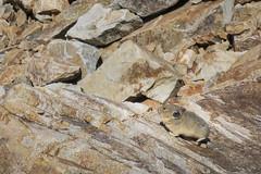 Plump Pika (GlobalGoebel) Tags: grand teton national park canon powershot g9x wyoming backcountry hiking camping pika tetoncresttrail