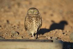 Burrowing Owl (kidbirder) Tags: