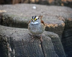 White-throated sparrow (Goggla) Tags: nyc new york east village tompkins square park urban wildlife bird sparrow white throated whitethroated