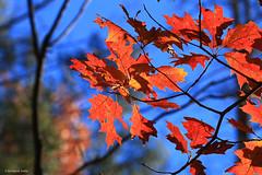 The Red Oak Tree (tripod_treker) Tags: leaves redoak trees autumn fallcolors fallsplendor