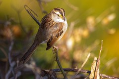 7K8A0707 (rpealit) Tags: scenery wildlife nature state line lookout whitethroated sparrow bird