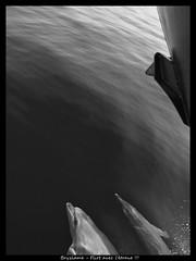 Flirt avec l'trave !!! (bryzlame - photo) Tags: dauphin monochrome mer marins