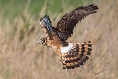 Northern Harrier (Chris Parmeter Photography (smokinman88)) Tags: northern harrier marsh hawk bird animal nature washington flying grass field sunlight winter nikon d500 sigma 150600mm sport