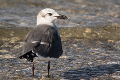 Laughing Gull (J.B. Churchill) Tags: baysidepoint birds gullsterns lagu laughinggull maryland places taxonomy worcester berlin unitedstates us