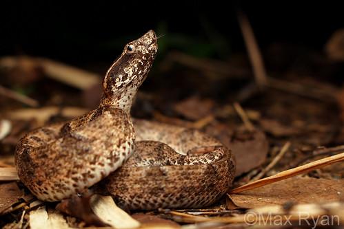 Calloselasma rhodostoma - Malayan Pit Viper