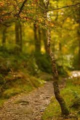 Autumn (RD400e) Tags: canon eos 5d mk3 ef 85mm f12 gitzo bwpolariser padley gorge peakdistrictnationalpark peakdistrict trees woods autumn dof outdoors