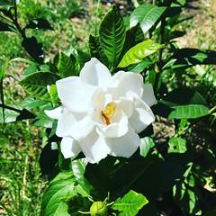 Abrieron mis jazmines... #Feliz #Flores #Jardin