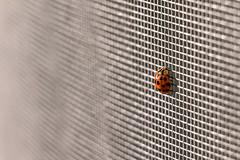 little Ladybug, HMM (Wenninger Johannes) Tags: macromondays beatlesbeetles beetle bug kfer marienkfer ladybug insect foto fotografie photography photo linz austria sterreich