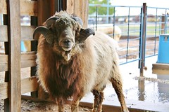 0U1A2772 NM Farm & Ranch Heritage Museum (colinLmiller) Tags: 2016 newmexico farmandranchheritagemuseum sheep merino debouilet churro