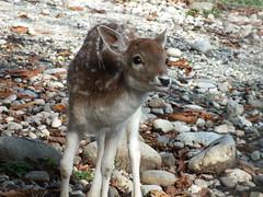 Bambi (John of Witney) Tags: deer faun bambi genevabotanicgarden geneva switzerland