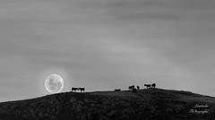 Ligando bajo la luna (LANTADA Fotografia) Tags: dobleexposicion panoramica luna animales blancoynegro