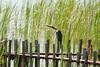 DSC01044.jpg (joe.spandrusyszyn) Tags: byjoespandrusyszyn suliformes anhingidae unitedstatesofamerica florida anhingaanhinga vertebrate nature bird orlando lakeapopka darter snakebird lakeapopkalooptrail animal anhinga
