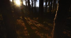 Formby Woods - November-2016_005_gpx (syberad) Tags: 2016 winter formby woods forest pine trees seaside coast coastal sssi sunrise morning landscape formbywoods formbynaturereserve merseyside november sunshot intothesun shadows shadow plants