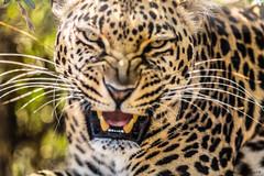 Lopard II (Nona P.) Tags: safari lopard flin animal afriquedusud photography canon nonap