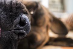 Good night my dear! (Valentina Conte) Tags: dog dream sleep goodnight sweetdreams nose boxer canon100d rebelsl1 valentinaconte dreaming bokeh animal pet