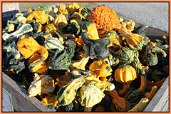 Squash, Gourds Harvest (bigbrowneyez) Tags: gourds harvest pumpkins food edible vegetables colourful colours beautiful nature natura belli bellissimi wood box crate sunny sunshine bright fun shapes textures colori sweet dolce funny pretty flickrfresh dof squashgourdsharvest