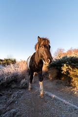 An unexpected encounter! (Jantje1972) Tags: wild sunrise forest mist frost nationalpark encounter horse icecold cold sand sun pony wildpony