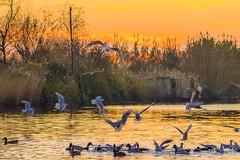 DSC_0516-2 (f_foschi.) Tags: toscana tuscany lucca francesco foschi lago colori colors sunset tramonto uccelli gabbiani