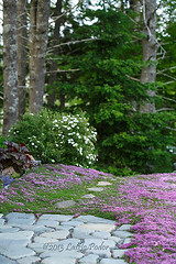 Front Yard Lawn Replacement (laszlofromhalifax) Tags: canada garden novascotia lawn replacement halifax frontyard thyme creepingthyme