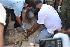 Minister for Environment and Conservation, Hon. John Pundari, tagging the adult female Logger Head turtle.. (coraltriangle2013) Tags: new coral guinea triangle png papua wwf ctd 2013