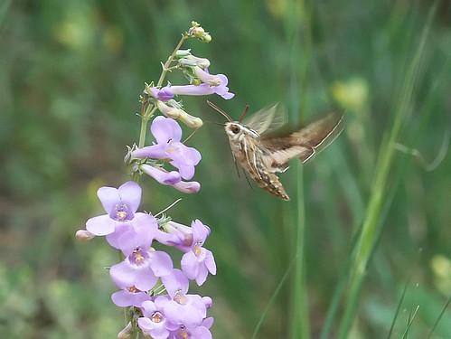 Photo - White-lined sphinx moth seeks nectar from penstemon flowers.