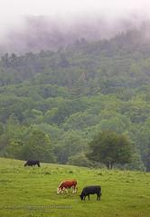Summer Mist (Jeff Newcomer) Tags: summer mist field cows pasture grazing