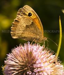 Macro (Canon G15) (Muzammil (Moz)) Tags: macro butterfly afraaz muzammilhussain warringtonuk canong15
