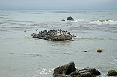Cormorants and brown pelicans on sea stack, Estero Bay Photo